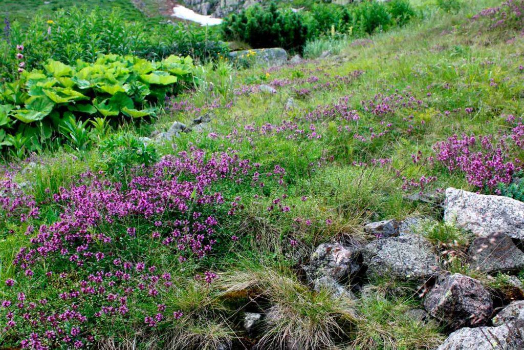 macierzanka halna, Karkonoski Park Narodowy