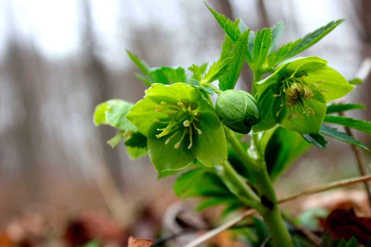 rośliny chronione, ciemiernik zielony