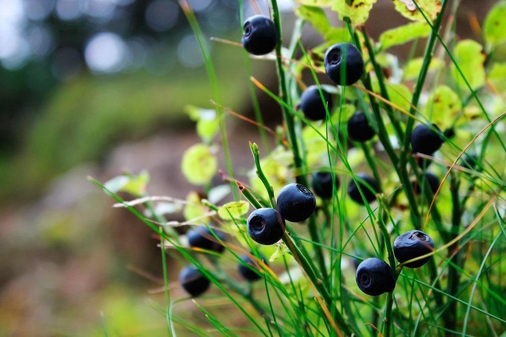 Vaccinium myrtillus, borówka czarna