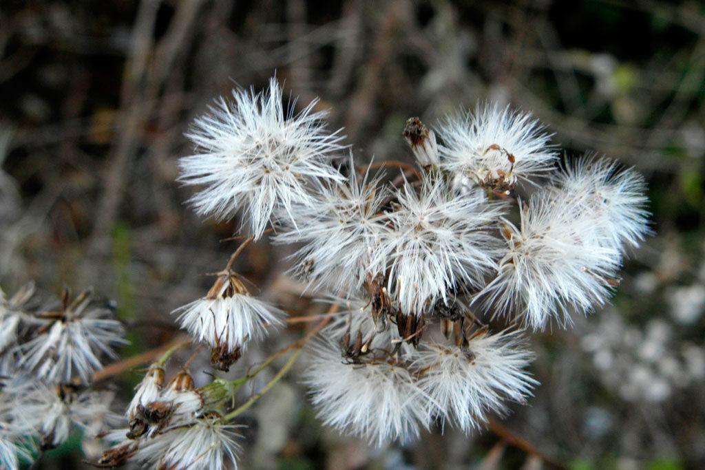 Senecio vulgaris L. starzec zwyczajny