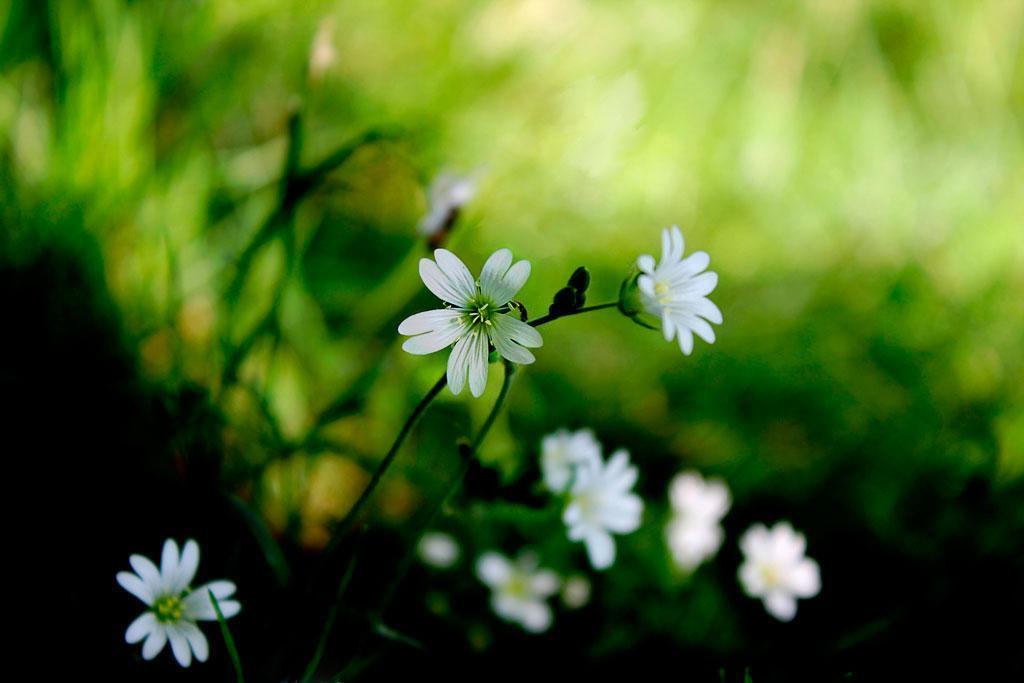Stellaria L.