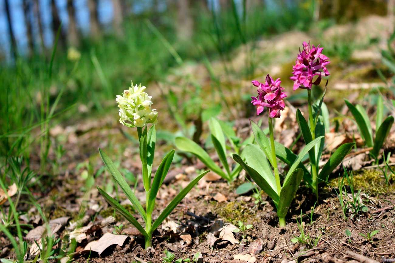 stoplamki bzowe, rośliny objęte ochroną ścisłą