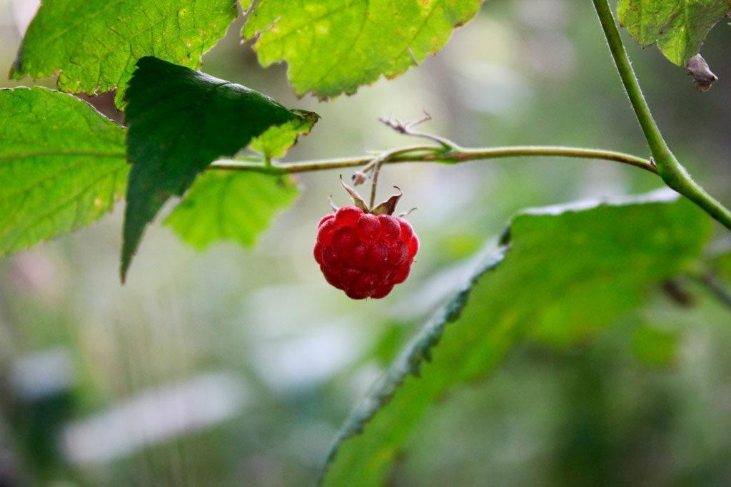 owoc maliny dzikiej