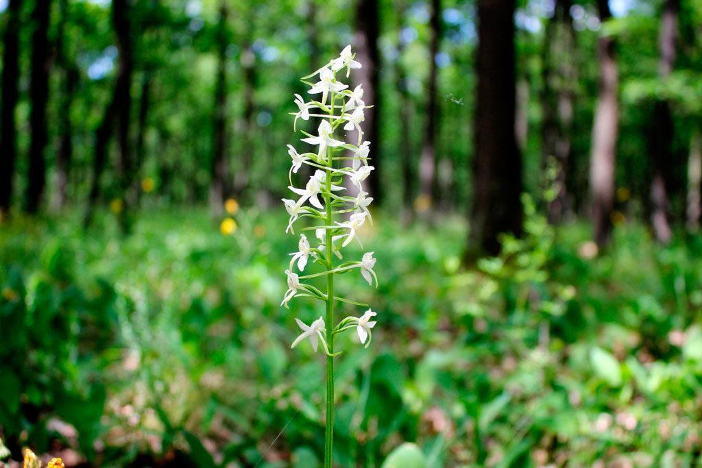 storczyk podkolan, roślina chroniona