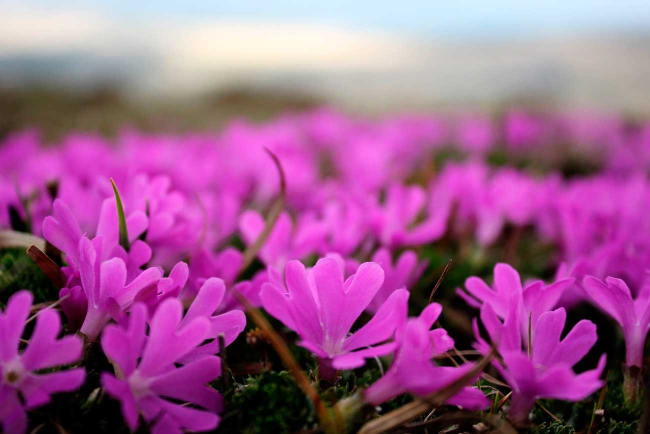 Karkonosze, kwitnące pierwiosnki maleńkie