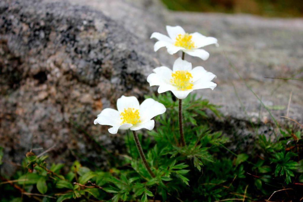 Karkonosze, sasanki alpejskie