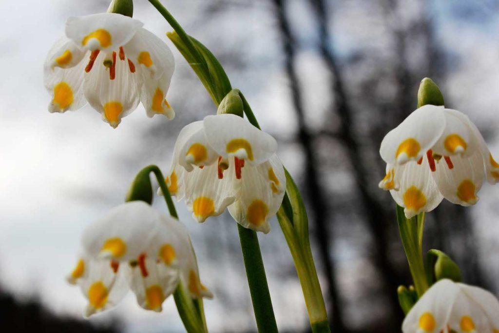 kwiaty chronione, śnieżyca wiosenna
