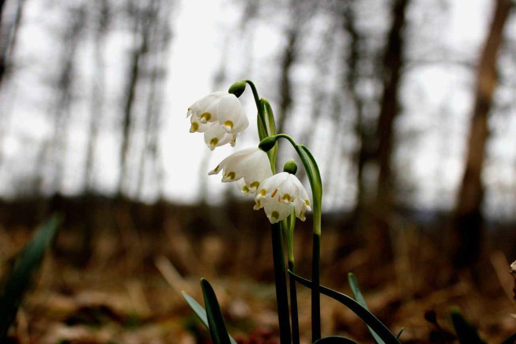 śnieżyce wiosenne, kwiaty pod ochroną