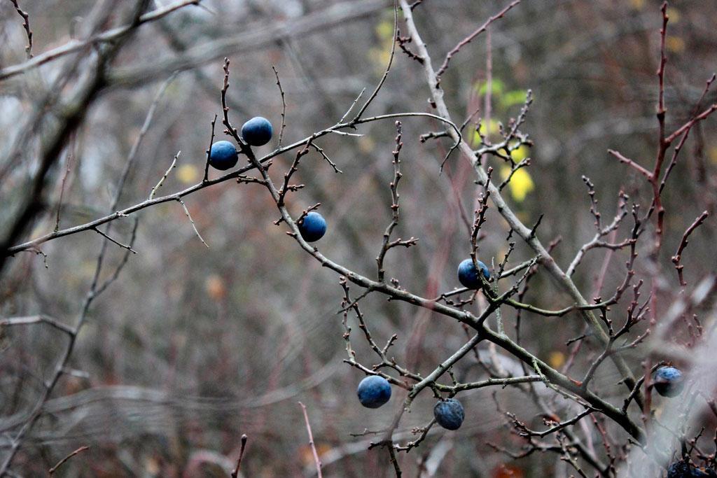 Prunus spinosa, śliwa tarnina, owoce zimą